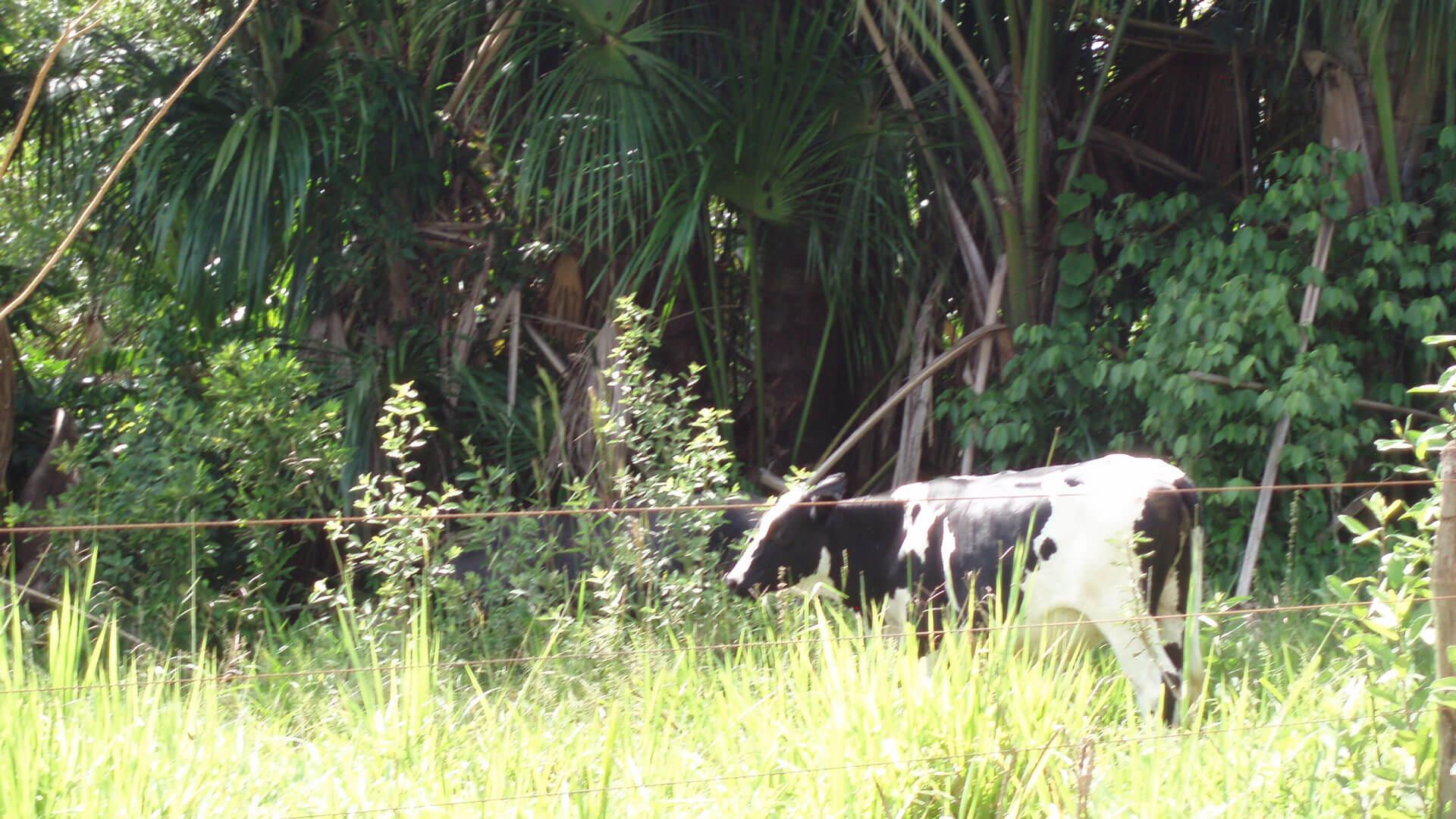 Rind auf der Weide vor Palmenwald