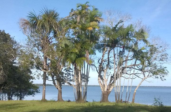 Palmen auf der Halbinsel am Lago Manacapuru.