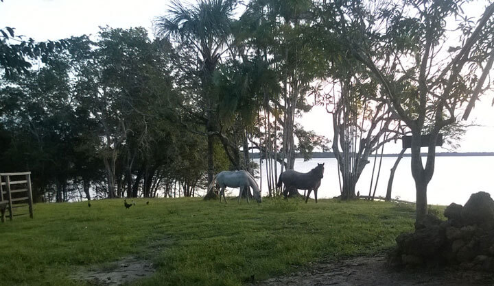 Pferde unter Palmen im Sonnenuntergang. Natur und Romantik pur am Lago Manacapuru.