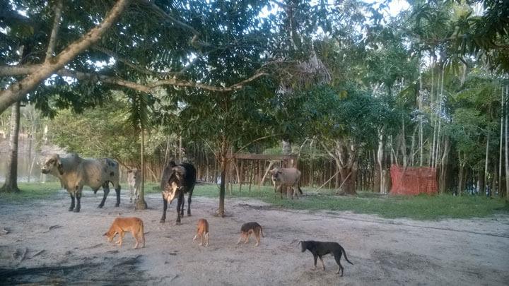 Rindrt kommen abends zurück von der Weide. Es ist ein einfaches und natürliches Leben im Interior des Amatonas.